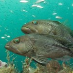 Black Sea Bass, marine fish, aquaculture