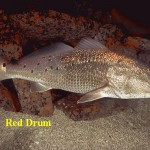 Red Drum, marine fish, aquaculture