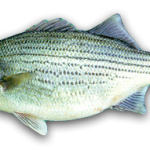 Hybrid Striped Bass, marine fish, aquaculture