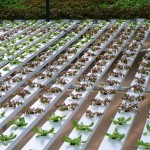 hydroponic gallery, produce