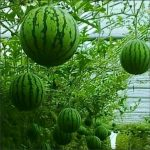 WATERMELON VERTICAL HYDROPONICS