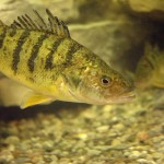 fresh water fish, yellow perch