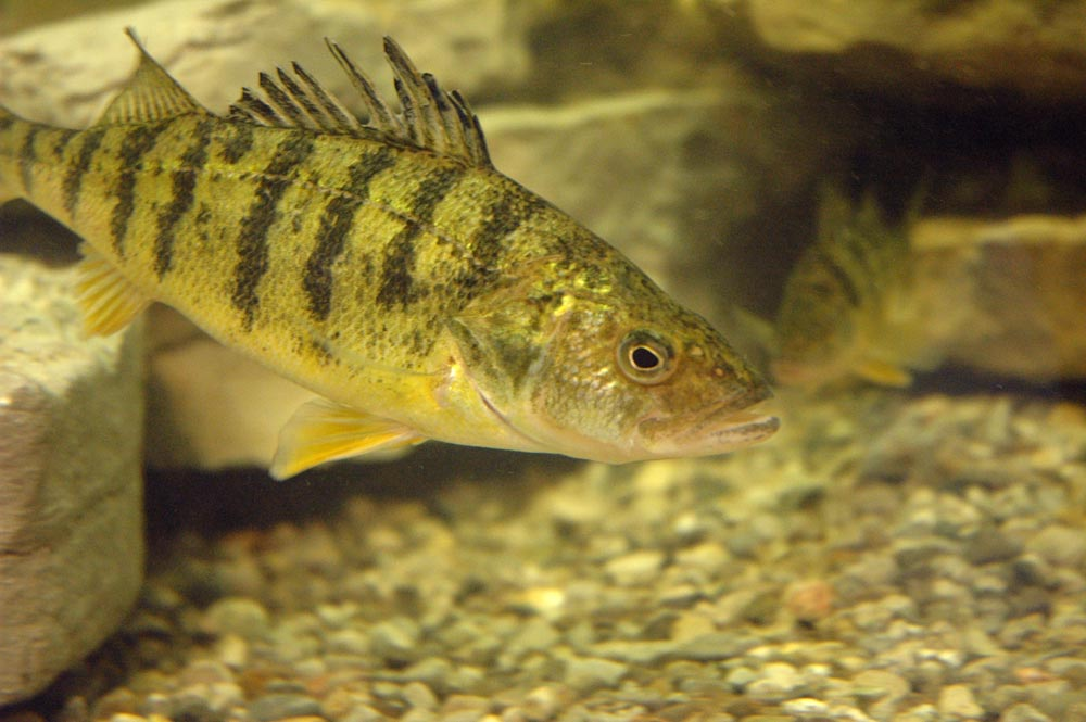 Smart farming technologies cc freshwater fish farming in for Perch fish facts
