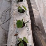 hydroponic method and crop