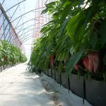 vegetable hydroponics in south africa