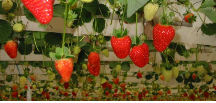 strawberry, hydroponic, good colour