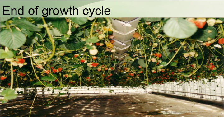 strawberry, hydroponic, end of growth cycle