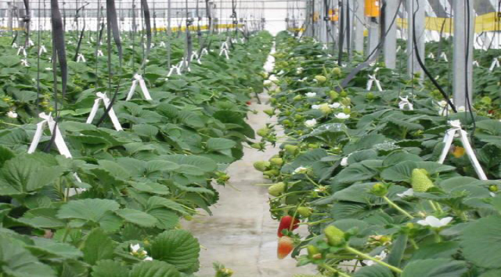 strawberry, hydroponic gutter, hanging