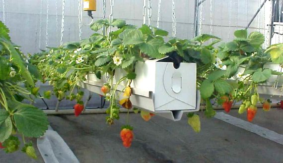 strawberry, hydroponic gutters, hanging