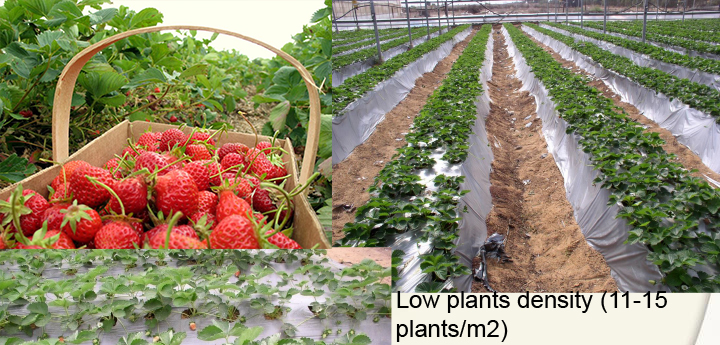 strawberry. hydroponic, growth density