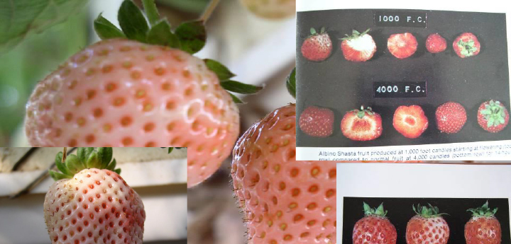 strawberry. hydroponic, malformed example