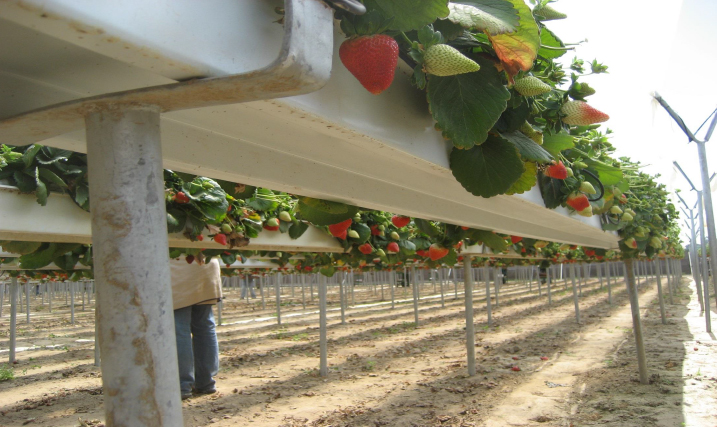 Smart Farming Technologies Cc Strawberry Farming In