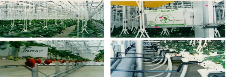 strawberry, hydroponic gutter, hanging, Tamar strawberries