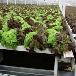glossary, hydroponics, hydroponic lettuce