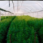 commercial greenhouse farming